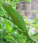 chameleon-pix-21